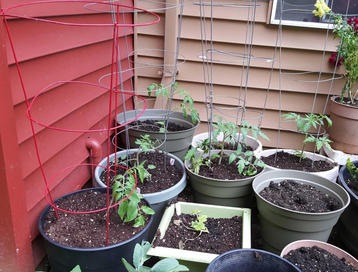 tomatoes-planting-day-may05_0.jpg