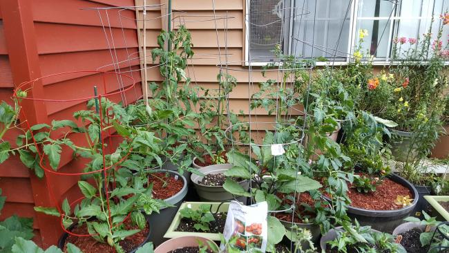An overall shot of my tomatoes